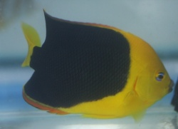 Holacanthus tricolor 1 .JPG